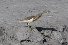 Indian Pond Heron at Taqah S24A5416 (grebberg) Tags: indianpondheron ardeolagrayii ardeola heron bird taqah dhofar oman december 2017