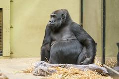 2018-02-20-11h34m27.BL7R0044 (A.J. Haverkamp) Tags: binti canonef100400mmf4556lisiiusmlens amsterdam noordholland netherlands zoo dierentuin httpwwwartisnl artis thenetherlands gorilla pobapeldoornthenetherlands dob19111992 nl