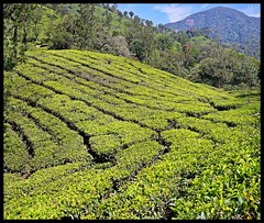 Tea Forest Mountains (Indianature st2i) Tags: valparai anamalais anamallais anamalaitigerreserve westernghats tea shola rainforest nature indianature 2018 january february tamilnadu india life wildlife plantation forest people estate