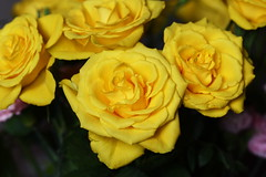 DSC_8845 Yellow Roses (PeaTJay) Tags: nikond750 sigma reading lowerearley berkshire macro micro closeups gardens indoors nature flora fauna plants flowers bouquet rose roses rosebuds