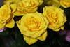 DSC_8845 Yellow Roses (PeaTJay) Tags: nikond750 sigma reading lowerearley berkshire macro micro closeups gardens indoors nature flora fauna plants flowers bouquet rose roses rosebuds