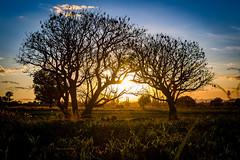 """Juntos"" (Alyaz7) Tags: nikond7200 lentenikonnikkorafs1855mm13556giidxvr rawquality paisaje landscape vegetación árboles trees naturaleza nature hermoso beautiful atardecer sunset juntos together campo"