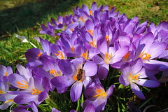Crocuses / Krokusy (ZdenHer) Tags: crocuses krokusy flowers
