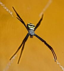 Orb web spider (Argiope sp.) Kanha Tiger Preserve India DSC_7060 (JKIESECKER) Tags: spider spiderweb kanhatigerpreserve india centralindianlandscape protectedareas predatorsprey animals animalportrait invertebrates orange