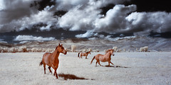 motion (greg westfall.) Tags: gregwestfall horses infrared 720nm wyoming mountains sky blue grass
