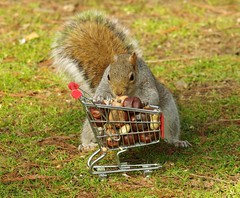 Squirrel with shopping cart (10) (Simon Dell Photography) Tags: winter spring grey animal nature together wildlife sheffield botanical gardens simon dell photography 2018 feb 24 with trolley shopping cart cute funny awesome mini micro full nuts