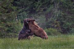 Grizzly Bears Battle for Breeding Rights (Turk Images) Tags: britishcolumbia coastalrainforest greatrainforest grizzlybear ktzimadeengrizzlybearsanctuary khutzeymateengrizzlybearreserve maritimecoast ursusarctoshorribilis breedingseason bears mammals ursidae