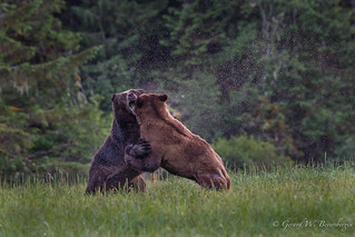 Grizzly Bears Battle for Breeding Rights