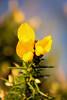 Gorse (Jez22) Tags: gorse yellow shrub thorny bright flower evergreen outdoor copyright jeremysage kent england