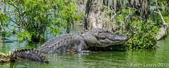 Lake Martin Gator # 1 (keithhull) Tags: alligator gator lakemartin bayou swamp breauxbridge louisiana unitedstates 2014