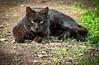 The Clone Wars (Pepenera) Tags: cat cats gatto gato gatti