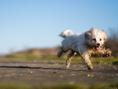 Run Free!! (C.A.Photogenics) Tags: water walk wood exposure eye earth relax rain tree eyes day sky boy sony uk sun sunshine light life vibarance view oxford oxfordshire contrast colour color long portrait puppy cavachon cavapoo clarity country composition movement beautiful blue natural nature motion mansbestfriend