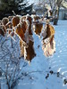 20180104_131214 (CSCandE) Tags: raspberry frost winter