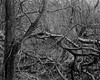 Tree and Tangled Branches (Hyons Wood) (Jonathan Carr) Tags: tree abstract ancient woodland rural northeast monochrome black white bw largeformat 4x5 5x4 landscape