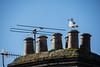 Reception Area I (Shastajak) Tags: seagull herringgull chimneypots chimney aerials