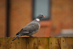 Tommy the Wood Pigeon (Barry Miller _ Bazz) Tags: trail widnes 300mmf4l canonlens nature wildlife woodpigeon bird