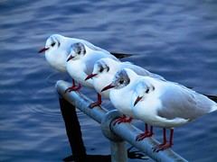 In Pole Position (Neale H) Tags: bird gull animals wildlife four nature water rural countryside