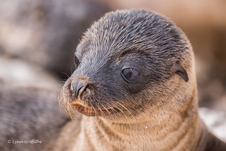 Sea Lion Pup Up Close D85_0851.jpg