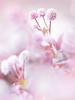 Persicaria capitata (Tomo M) Tags: ヒメツルソバ weed nature bokeh pink pentacon blur