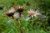 Carduus crispus (Nelleke C) Tags: 2017 susteren asteraceae carduuscrispus dike flora kruldistel limburg nederland netherlands rangeerterrein spoorwegterrein steen stone trainstation weltedthistle