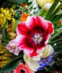 Ich bin der Sonnenaufsauger (rollirob) Tags: rot schwarz schnittblume tulpen frühling frühlingsblumen honor9 handybild blumen