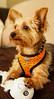 Playtime (rreyespt) Tags: sony playtime kiba yorkie dog