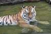 Lounging in the water (Tambako the Jaguar) Tags: tiger big wild cat siberian amur female tigress bathing chilling water pond resting lying portrait berlin zoo germany nikon d5
