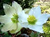 Winter Helebores (ERIK THE CAT Struggling to keep up) Tags: fowers ranton s staffordshire lentonrose ngc npc
