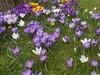 Au jardin (PierreG_09) Tags: seix ariège pyrénées pirineos couserans jardin fleur flor flore crocus