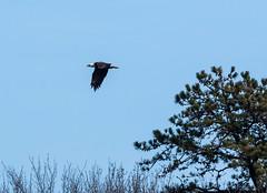 Bald Eagle (johnny4eyes1) Tags: flyingbirds connetquotriverstatepark birdofprey flight birdsinflight birds bird birdinflight flyingbird raptor baldeagle raptors eagles eagle