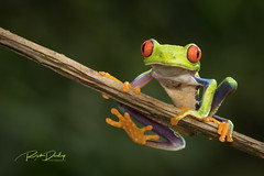 Hi from the Red-eye (rickdunlap2) Tags: agalychniscallidryas redeyedtreefrog animal wildlife frog costarica
