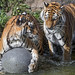 Two tigers and a ball