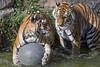 Two tigers and a ball (Tambako the Jaguar) Tags: tiger bit wild cat siberian amur female tigress playing fun water ball holding action pond drops berlin tierpark germany nikon d5