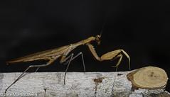 5-El color del adulto lo determina el del medio en el que habita durante su última muda (por ejemplo, amarillo, si se trata de paja seca, o verde, si es hierba fresca).  Es el único animal conocido que cuenta con un único oído, y lo tiene en el torax! (Cimarrón Mayor 14,000.000. VISITAS GRACIAS) Tags: kingdomanimalia phylumarthropoda classinsecta ordermantodea familymantidae subfamilystagmomantinae genusstagmomantis lugardecapturaislabeata repdominicana dominicanrepublic quisqueya repúblicadominicana caribe républiquedominicaine caraïbes caraibi repubblicadominicana dominikanischerepublik karibik karaiby dominikana dominikarerrepublika karibe dominikanskerepublik caribien dominikanskerepublikk karibien доминиканскаяреспублика карибскийбассейн cimarrónmayor panta pantaleón josémiguelpantaleón objetivo500mm telefoto700mm 7dmarkii canoneos canoneos7dmarkii naturaleza libertad libertee libre free fauna dominicano montañas