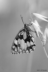 Noir et blanc d'été (jpto_55) Tags: papillon demideuil macro noiretblanc bokeh xe1 fuji fujifilm fujixf55200mmf3548rlmois hautegaronne france ngc