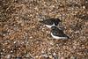 DSC_7431 (Peter-Williams) Tags: brighton sussex uk beach pier birds turnstones