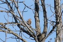 2017 Lark Sparrow 5 (DrLensCap) Tags: temecula california lark sparrow ca bird robert kramer