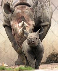 black rhino Blijdorp BB2A2170 (j.a.kok) Tags: rhino rhinoceros zwarteneushoorn blackrhinoceros blackrhino puntlipneushoorn neushoorn africa afrika animal herbivore mammal zoogdier dier blijdorp naima