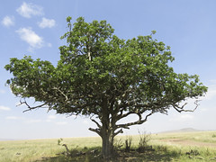 Sausage Tree Kigelia africana_1294 (Alice & Seig) Tags: africa tanzania ngorongorocrater tanzania2017 bignoniaceae lamiales asteridae plants flickr mararegion