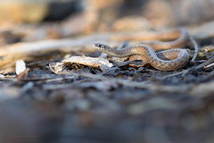 Northern Brown Snake (Phil Stollsteimer) Tags: snake reptile brown wildlife