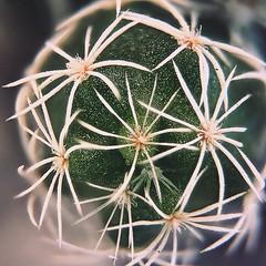 Cactus (rvcroffi) Tags: green verde natureza espinhos focusstack olloclip macro cactus