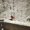 Cardinals in the snow! (asiadsb) Tags: bird feeding cardinal