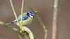 Mésange bleue (Phil du Valois) Tags: mésange bleue cyanistes caeruleus eurasian blue tit herrerillo común chapimazul blaumeise kék cinege pimpelmees cinciarella europea blåmes blåmeis sýkorka belasá sýkora modřinka blåmejse sinitiainen mallerenga blava eurasiàtica blámeisa modraszka zwyczajna zilzīlīte plavček лазоревка アオガラ 青山雀 歐亞藍山雀 faune sauvage libre bird wild wildlife free