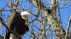 Speak up!  I can't hear you!! (shesnuckinfuts) Tags: americanbaldeagle haliaeetusleucocephalus female kentwa shesnuckinfuts february2018 nature wildlife baldeagle eagle bird