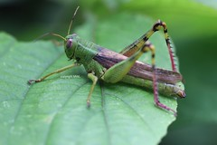Orthoptera (Phil Arachno) Tags: thailand asia asien phadaeng insecta orthoptera