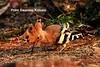 Hoopoe- Looks like a snail or tortoise out of its sack or shell (prem swaroop) Tags: hoopoe bird kailasagiri visakhapatnam aptourism season crownfeathers