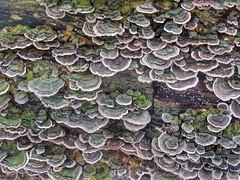 Bracket fungi (turkey tails) (sander_sloots) Tags: bracket fungi zwammen tree trunk boomstam haagsebos thehague denhaag paddestoelen mushrooms elfenbank turkeytails