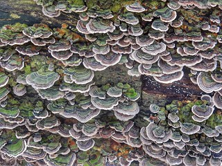 Bracket fungi (turkey tails)