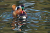 Mandarin (glidergoth) Tags: birds britishbirds norfolk mandarinduck aixgalericulata