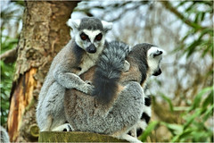 ring-tailed lemur.............. (atsjebosma) Tags: ringtailledlemur ringstaartmaki avifauna alphenaan derijn bomen staart atsjebosma january 2018 ngc coth5 npc